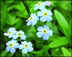 Aquatic Forget-me-not
